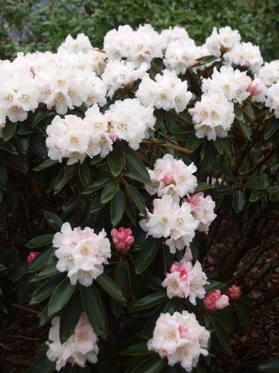 Rhodendrons at Holehird
