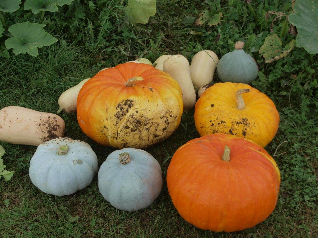 Colourful squash and Pumpkin harvest