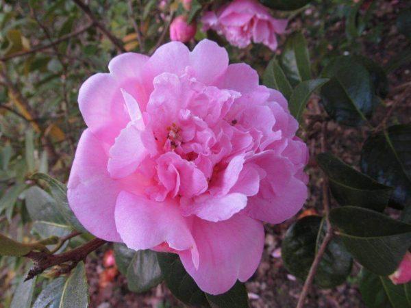 Camellia Elsie Jury