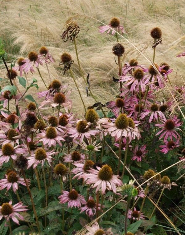 Sussex Prairies Grasses and Echinacea - Copy2