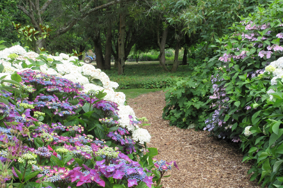 Hampshire - Hydrangea Pruning and Care