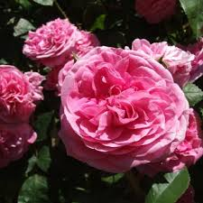 On-line - Practical tips for the care of Roses