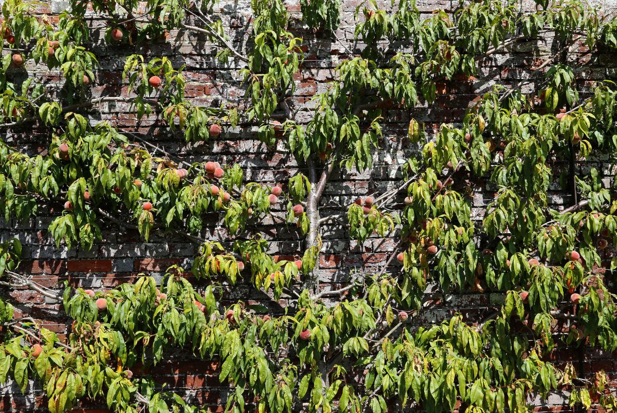 Kent - Summer Fruit Tree Pruning Skills Day